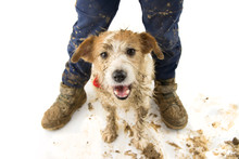HAPPY DIRTY DOG AND CHILD. FUNNY JACK RUSSELL  AND BOY LEGS AFTER PLAY IN A MUD PUDDLE. ISOLATED SHOT AGAINST WHITE BACKGROUND. STUDIO SHOT.