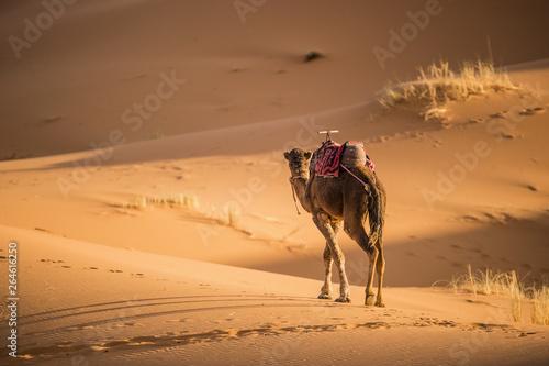 Vászonkép A camel is walking on some Sahara desert dunes during a beautiful sunset