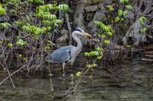 A Grey Heron (Ardea Cinerea) Standing In Shallow Water. It Is Surrounded By Plants, With Rocks And Tree Roots In The Background.