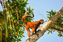 Spider Monkey In A Tree