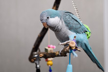 Blue Quaker Parrot Pet Bird On Perch Playing By Swinging Green Ball Onto His Back