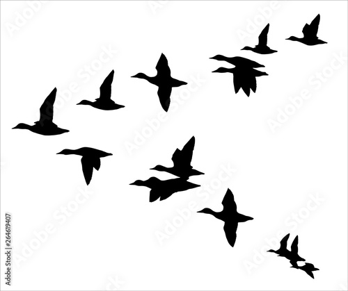 Fotografie, Obraz Flock of flying ducks
