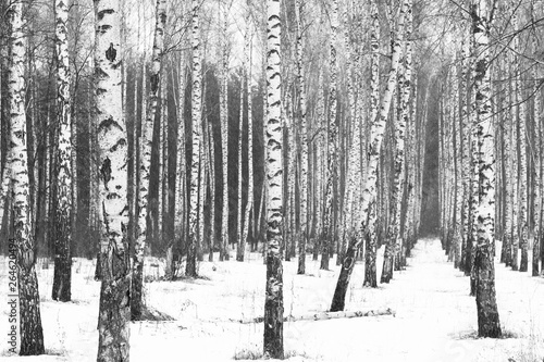 Black and white birch trees with birch bark in birch forest among other birches in winter