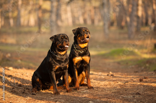Fotografia two dogs of breed a Rottweiler on a walk together a beautiful portrait