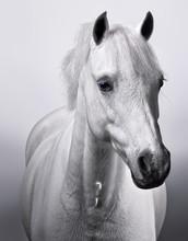 Studio Portrait Of White Horse