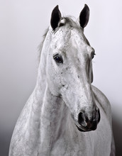 Studio Portrait Of White Horse