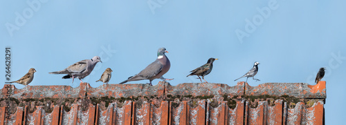 Obraz European birds are running in one direction over a roof in front of a blue sky - fototapety do salonu