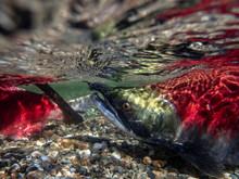 California, British Columbia, Adams River, Sockeye Salmon, Oncorhynchus Nerka