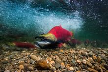 California, British Columbia, Adams River, Sockeye Salmons, Oncorhynchus Nerka