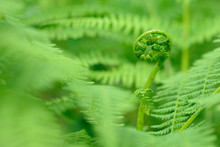 Fern Frond Rolled Out, Close Up