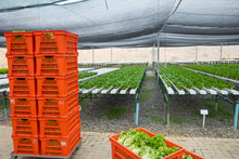 Crates With Fresh Vegetables In Greenhouse