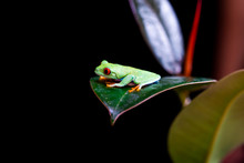 Red-eyed Tree Frog (Agalychnis Callidryas) Sitting On A Leaf - Closeup With Selective Focus. Black Background