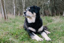 A Mixed Breed Dog With A Black Coat With White Patches, A Therapy Dog, Lying On The Grass Outdoors. ,Mature Mixed Breed Dog