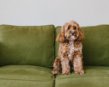 A Cockapoo Mixed Breed Dog, A Cocker Spaniel Poodle Cross, A Family Pet With Brown Curly Coat Sitting On A Chair,Cockapoo Mixed Breed Dog