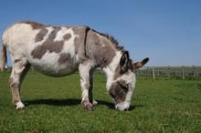 Mediterranean Miniature Donkey Grazing