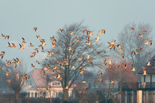 Flock Of Wintering Eurasian Cu...