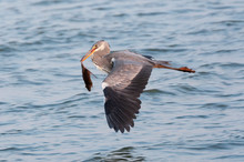 Grey Heron (Ardea Cinerea) Fly...