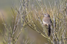 Cactus Wren Perched On Bush In...