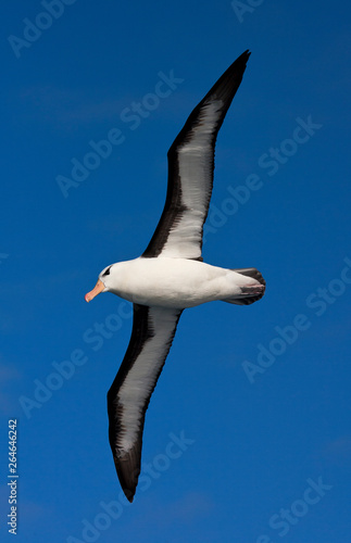 Fotografie, Tablou  Black-browed Albatross (Thalassarche melanophrys) in flight over the southern atlantic oceans near Antarctica
