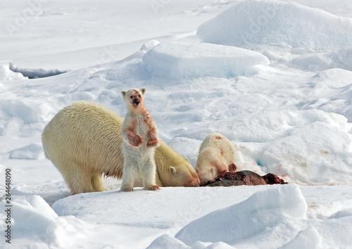 Wallpaper Mural Polar Bear (Ursus maritimus) standing on ice flow of Svalbard, arctic Norway