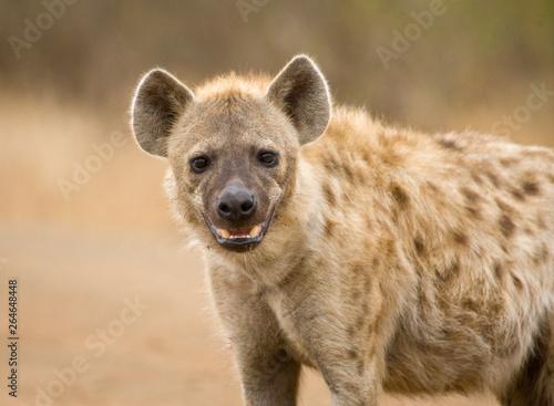 Deurstickers Hyena Spotted Hyena (Crocuta crocuta) in Kruger national park, South Africa.