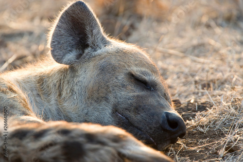 Spotted Hyena (Crocuta crocuta) in Kruger national park, South Africa.