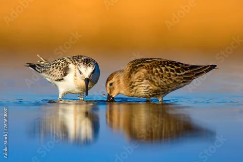 Fényképezés  Cute little water bird