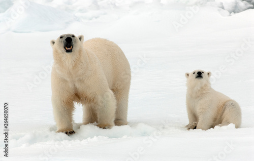 Wall Murals Polar bear Polar Bear (Ursus maritimus) standing on ice flow of Svalbard, arctic Norway. A threatened species from the arctic.