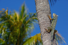 Green Iguana On A Palm Tree Trunk