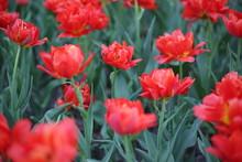 Field Of Tulips. Krany Flowers...