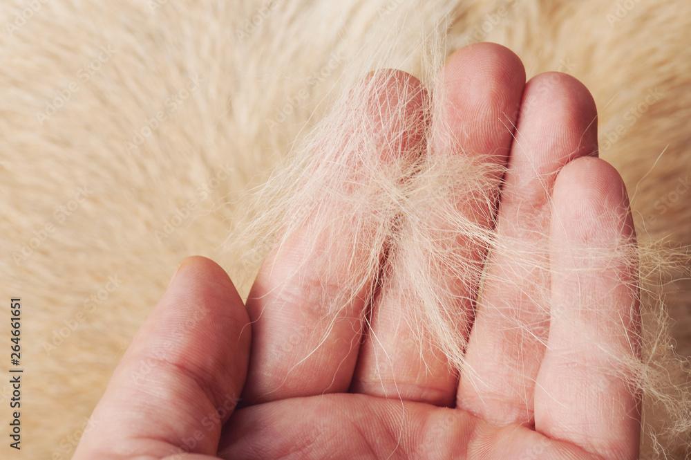 Fototapeta Brown dog fur in human palm