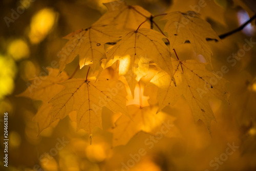 Golden maple leaves from autumn with beautiful bokeh. The fall season colors the tree leaf and decorates them in cheery vivid shades of red, magenta, purple, and colorful yellow.