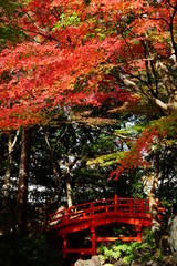Fototapeta Mosty 紅葉 庭園 日本 晴れ 露出 違い 赤 緑 対比 太鼓橋