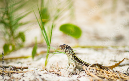 Slika na platnu Lizard portrait with head up