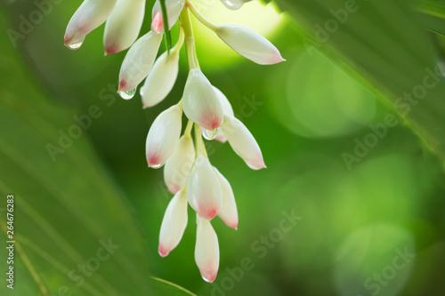 朝露のゲットウの花
