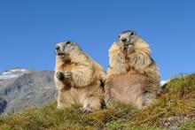 Alpine Marmots, Marmota Marmot...