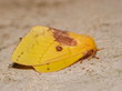 Top view of Pine-Tree Yellow Moth resting on the ground.