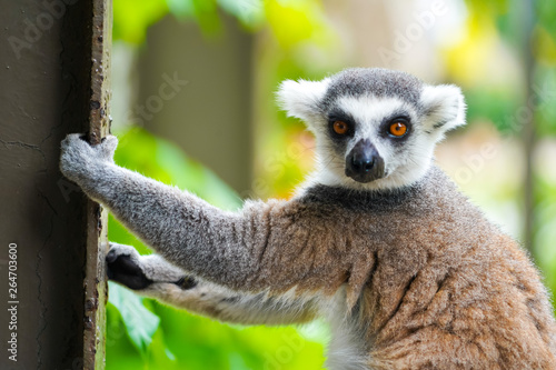 Photo  Ring tailed lemur | Lemur catta climbing on the fence in nature habitat on Phu Q