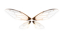 Wings Of Insect Cicada On Whit...