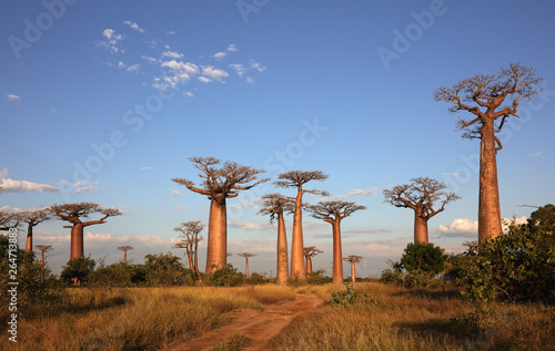 Canvas Print Avenue of the Baobabs near Morondava, Madagascar