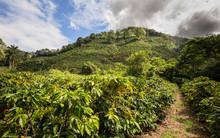 Cafetan Fields In The Orosi Va...