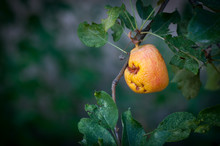 Rooting Unhealthy Apple Fruit ...