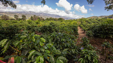 Cafetan Fields In The Orosi Valley In Costa Rica