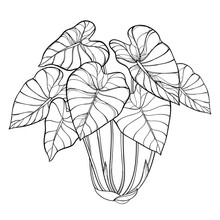 Bush Of Outline Tropical Plant Colocasia Esculenta Or Elephant Ear Or Taro Leaf Bunch In Black Isolated On White Background.