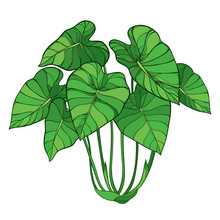 Bush Of Outline Tropical Plant Colocasia Esculenta Or Elephant Ear Or Taro Leaf Bunch In Green Isolated On White Background.