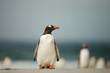 Gentoo penguin standing on a sandy beach