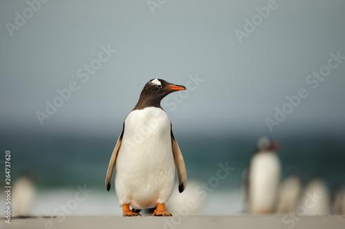 Poster de jardin Pingouin Gentoo penguin standing on a sandy beach
