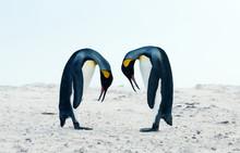 King Penguin Courtship Behavio...