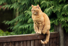 Ginger Cat Sitting On A Wooden...