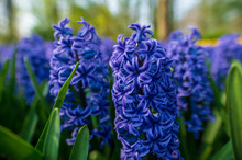 Blue Grape Hyacinths In The Garden